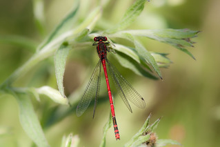 Large Red Damselfly ♂