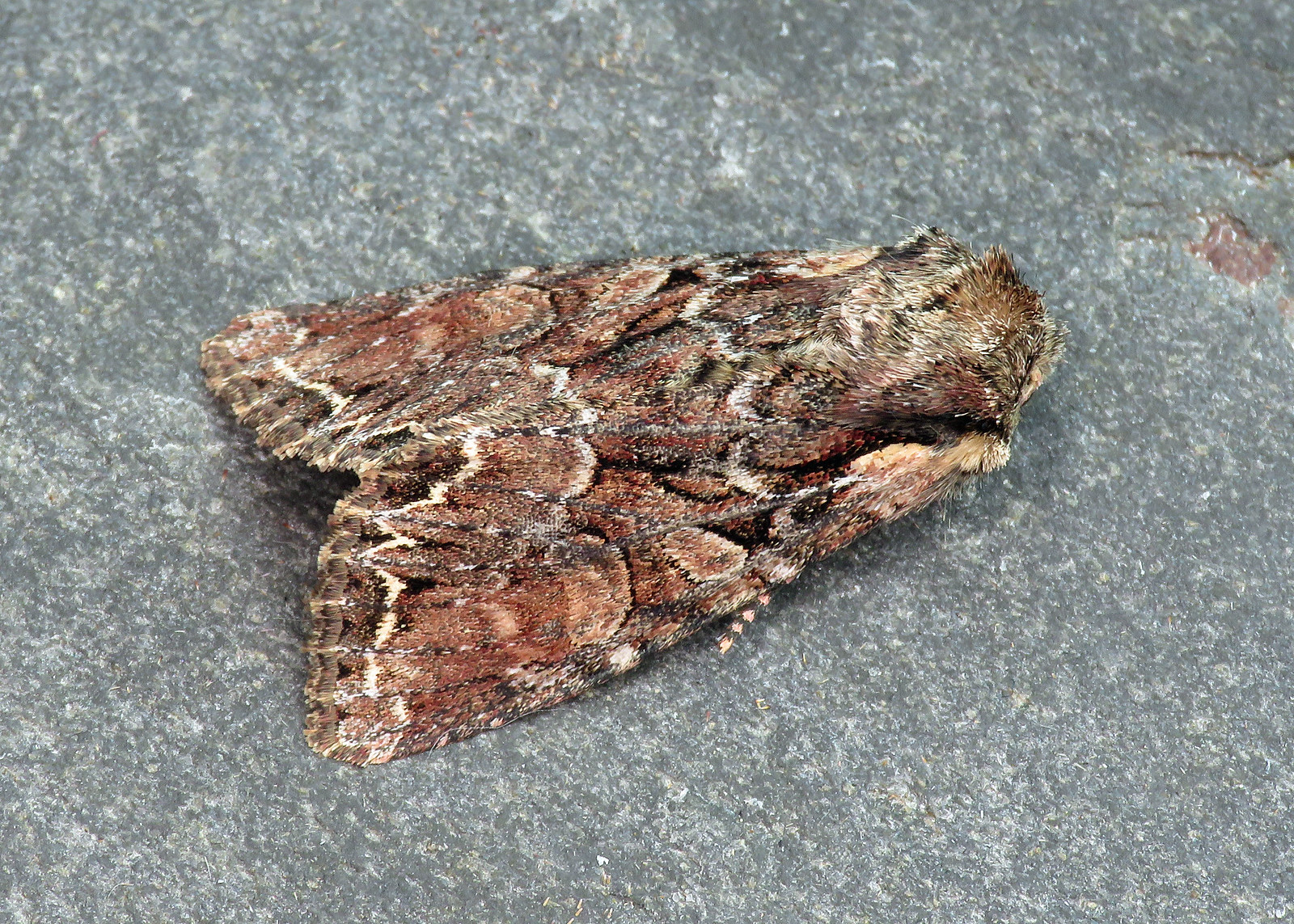 73.264 Pale-shouldered Brocade - Lacanobia thalassina