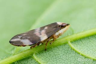 Spittlebug (Ptyelinellus praefractus) - DSC_5834