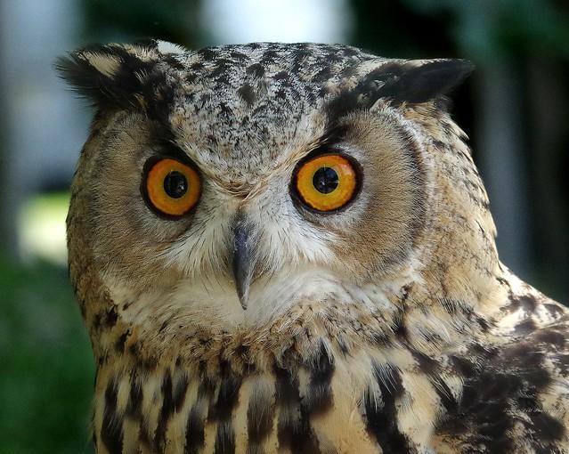 european eagle owl  (2)