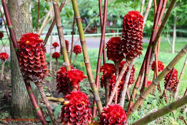 Ginger Shampoo, Ginger Maraca, Botanic Garden, San Salvador