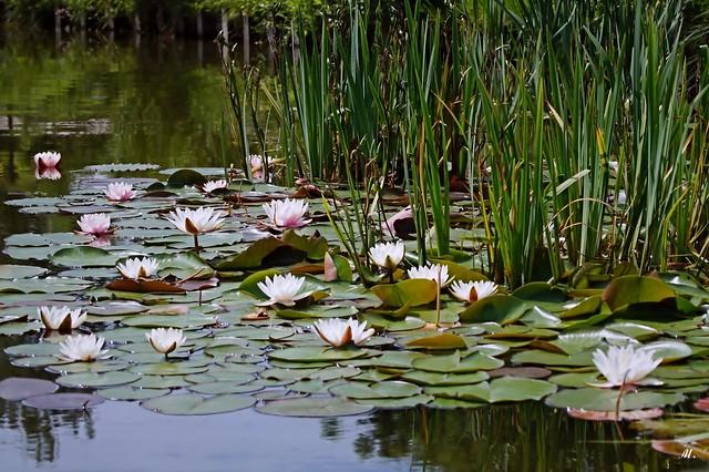 Waterlelie (Nymphaea)