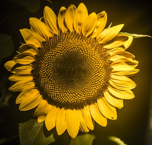 A Sunflower | by publicdomainphotography