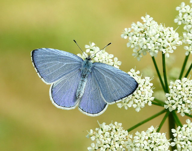 Holly Blue Celastrina argiolus