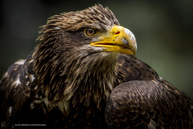 Pygargue à tête blanche, Haliaeetus leucocephalus - Bald Eagle, femelle juvénile, juvenile female