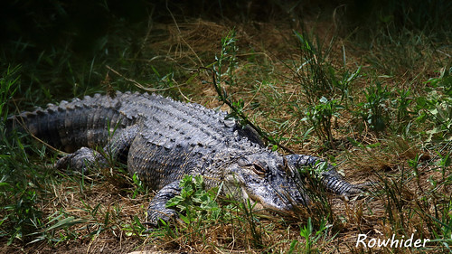 Alligator du Mississippi | by Rowhider