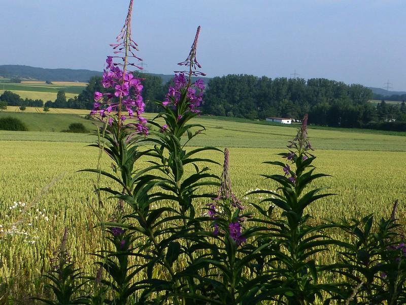 Landschaft mit Blüten