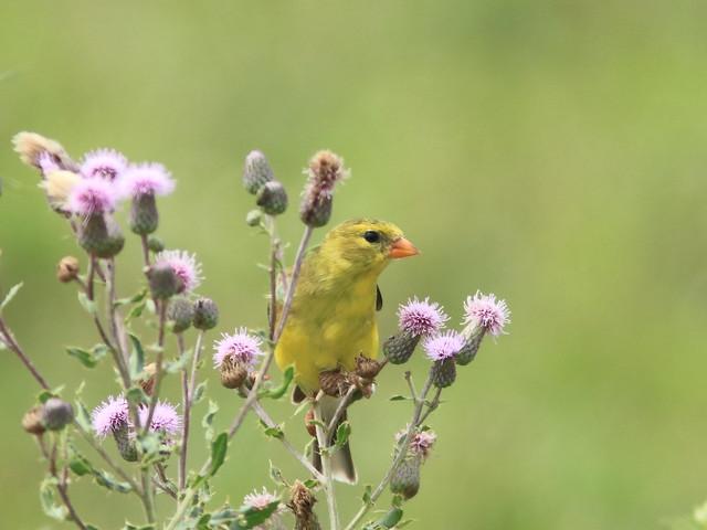 American Goldfinch 03-20170630