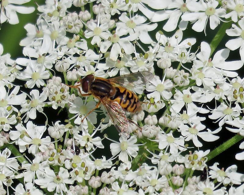 Parhelophilus frutetorum/versicolor