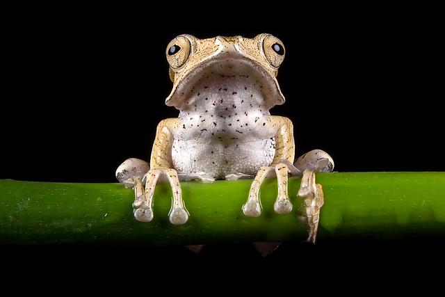 Borneo Eared Frog, CaptiveLight, Bournemouth, Dorset, UK