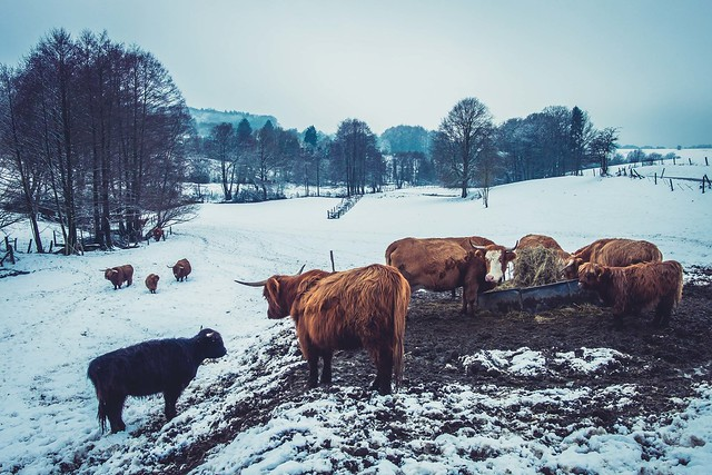 Winter Landscape with Highland cattles