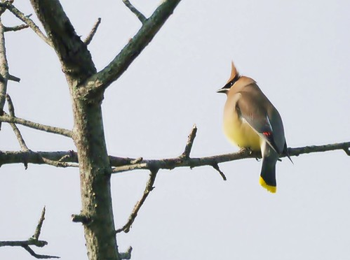 Cedar Waxwing | by flickr quickr