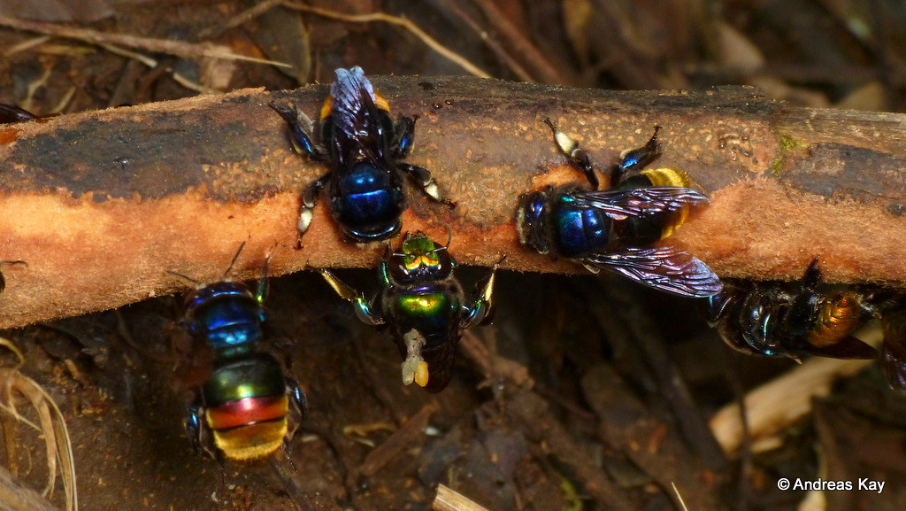 Orchid bees, Eufriesea sp. (ID by Marco Gaiani), Euglossini collecting bark containing perfumes to attract females?