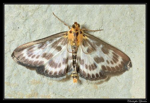 Pyrale de l'ortie (Anania hortulata)