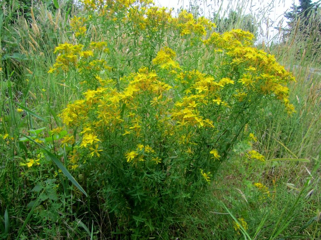 Common St. John's Wort - Hypericum perfoliatum