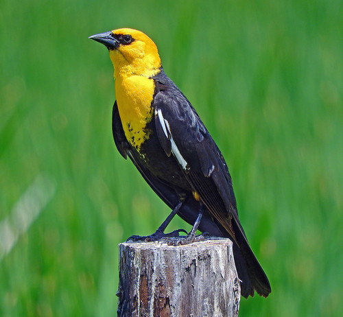 --Blackbird-Yellow-headed-Male-NE | by Tricolor Brian