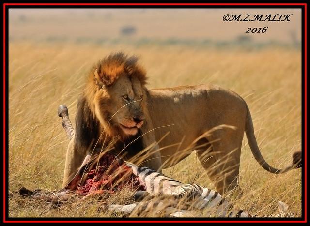 KING OF THE JUNGLE (Panthera leo)....MASAI MARA......SEPT,2016