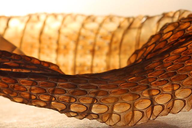 Shed snake skin 2