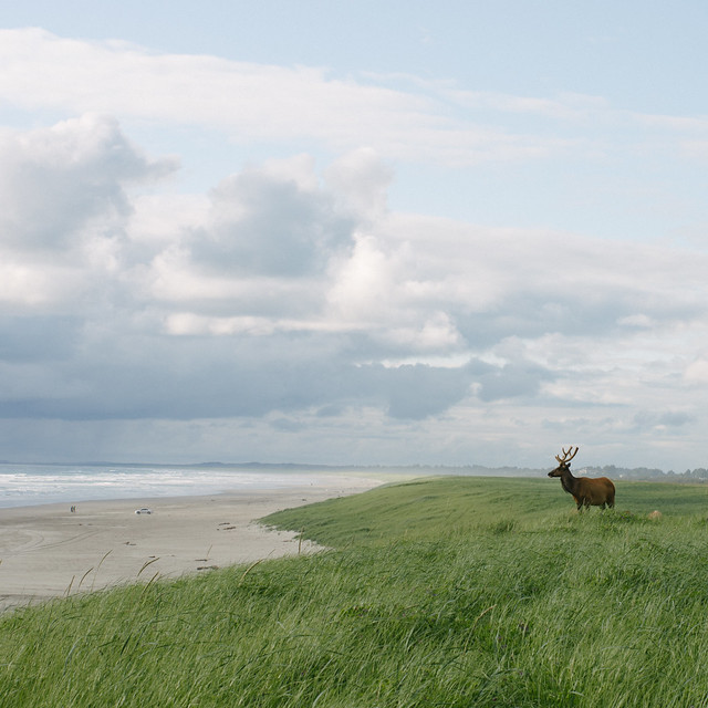 Elk on Gearhart Dunes