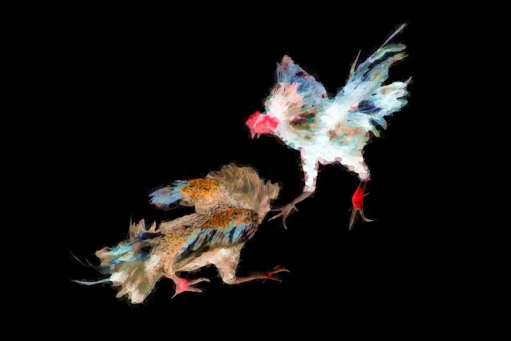 Indonesia - Bali - Cockfighting - 20bb |       notice the ra