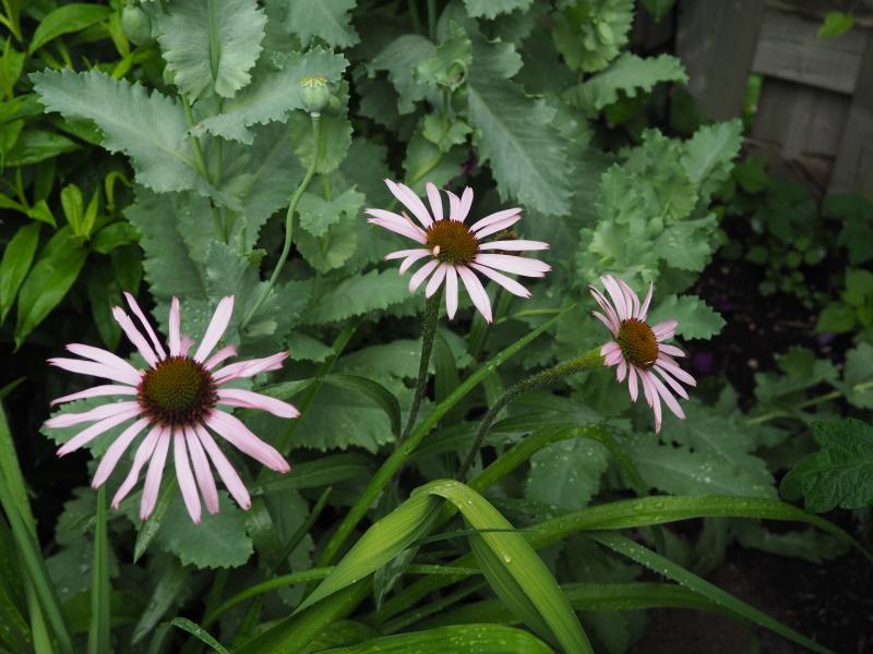 Echinacea Tennesseensis et l'hybride E. t. 'Rocky Top' 35026527143_007968e5ab_o