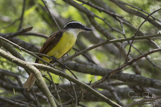 Great Kiskadee | by Stephen J Pollard (Loud Music Lover of Nature)