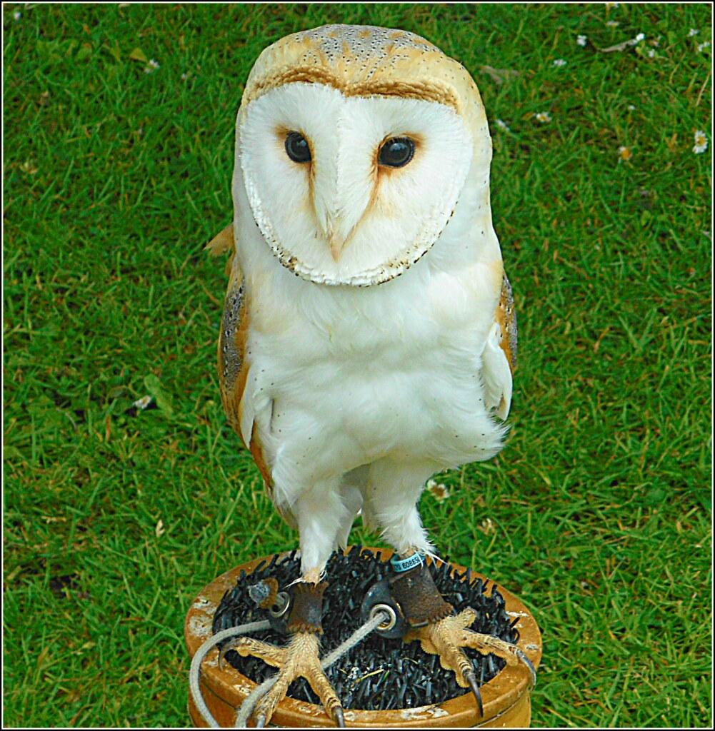The Barn Owl ..