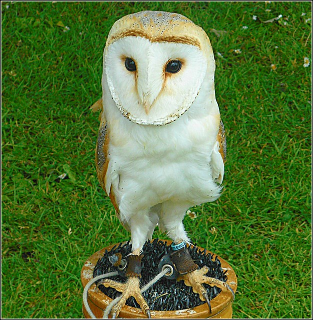 The Barn Owl ..