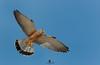 Lesser kestrel (Falco naumanni) - Cernícalo primilla (Falco naumanni) by Juan María Coy