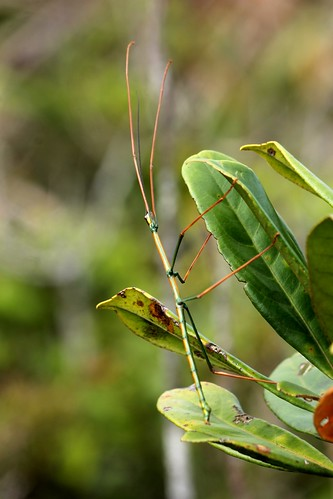 Stick Insect | by eazytraveler
