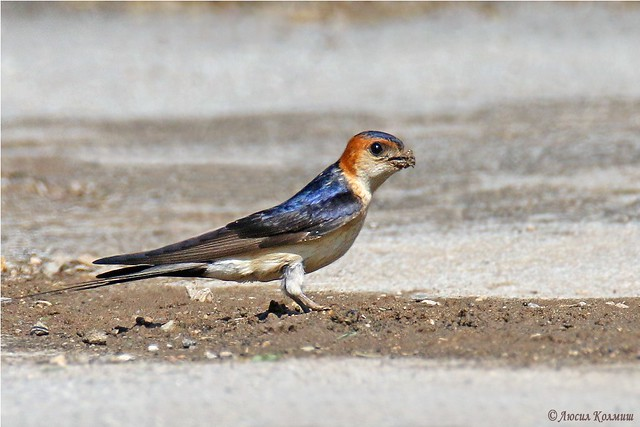 Viewed for the first time - Hirundo Daurica