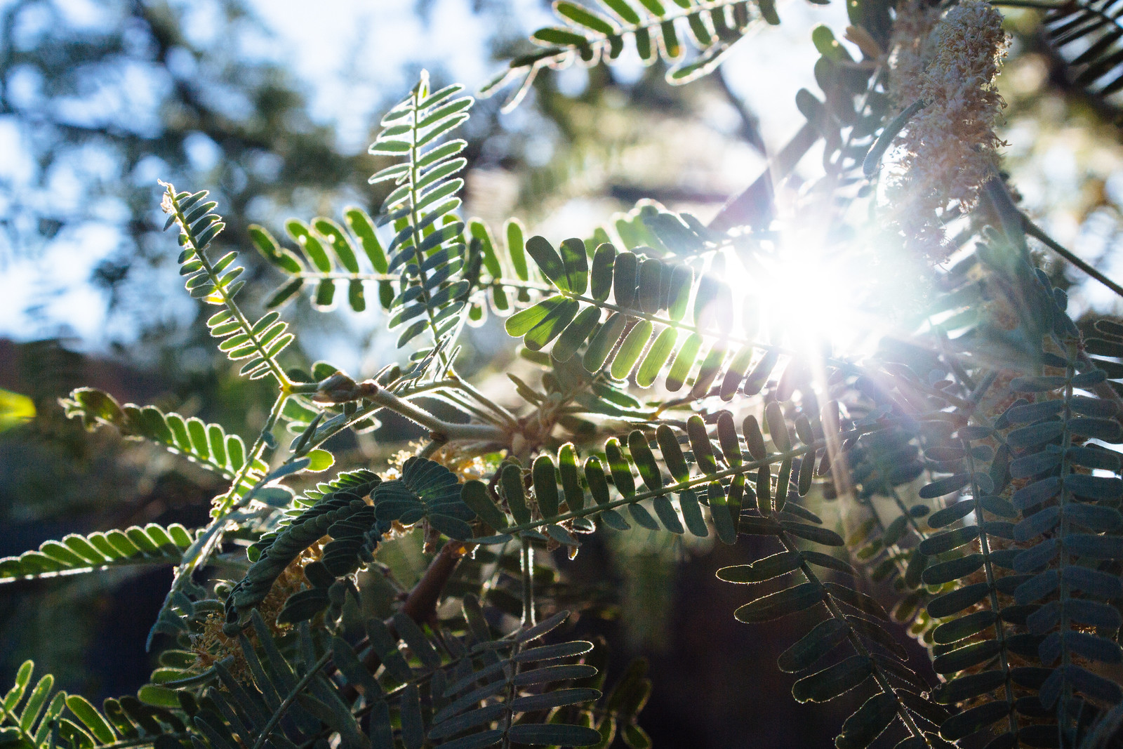 Sunlight peeking through pinnate leaves of a mesquite tree