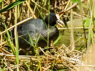 Лысуха • Лиска • Eurasian coot • Fulica atra | by Googre