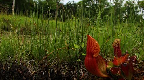 Pitcher plant (Sarracenia purpurea) in fen | by phl_with_a_camera1