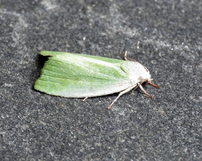 74.011 Cream-bordered Green Pea - Earias clorana