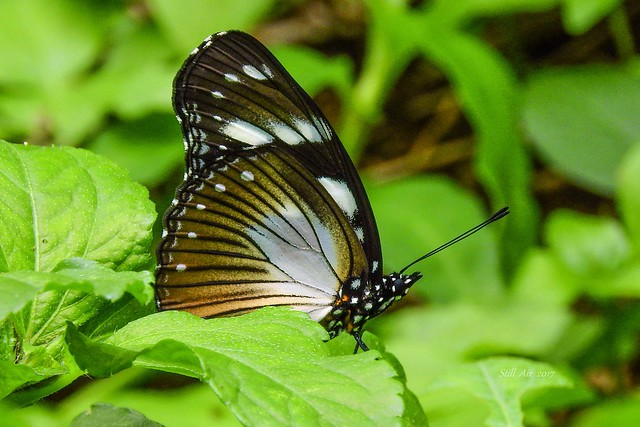 MIMICKER - Hypolimnas anthedon (Variable Eggfly or Variable Diadem) (morph dubius) (GH-0010)