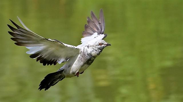 Sony A9: Pigeon In Flight