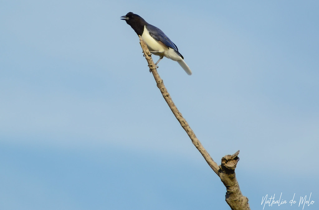 gralha-do-campo (Cyanocorax cristatellus) - Curl-crested Jay