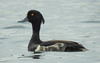 Tufted duck by m2onen