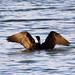 カワウ(Great Cormorant)