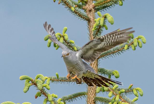 JWL8562  Cuckoo..