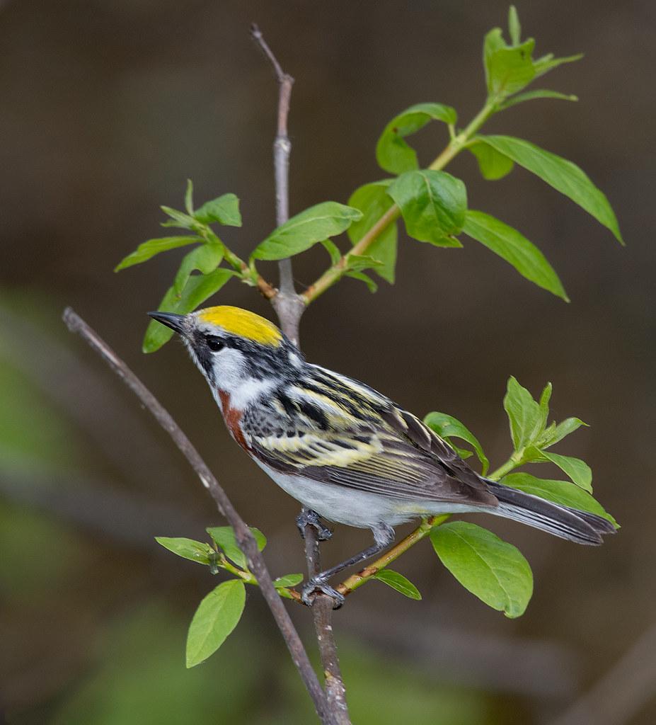 image 3 Chestnut-sided Warbler at Magee Marsh