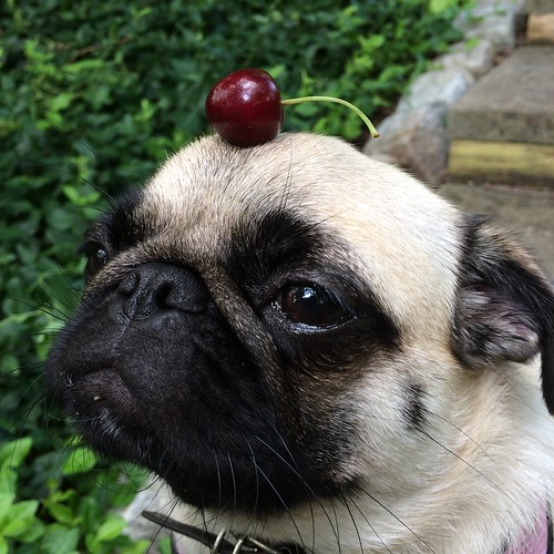 Momo is very serious about the start of cherry season