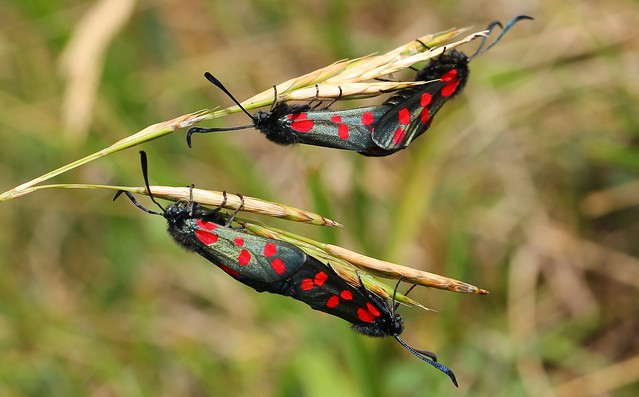 Six Spot Burnet Moth (Mating) - Zygaena filipendulae 070717 (4)