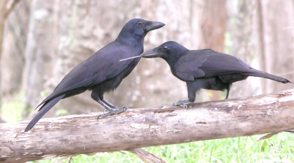 Adule and juvenile wild New Caledonian crows, with a tool (juvenile)