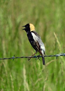 --Bobolink-Male | by Tricolor Brian