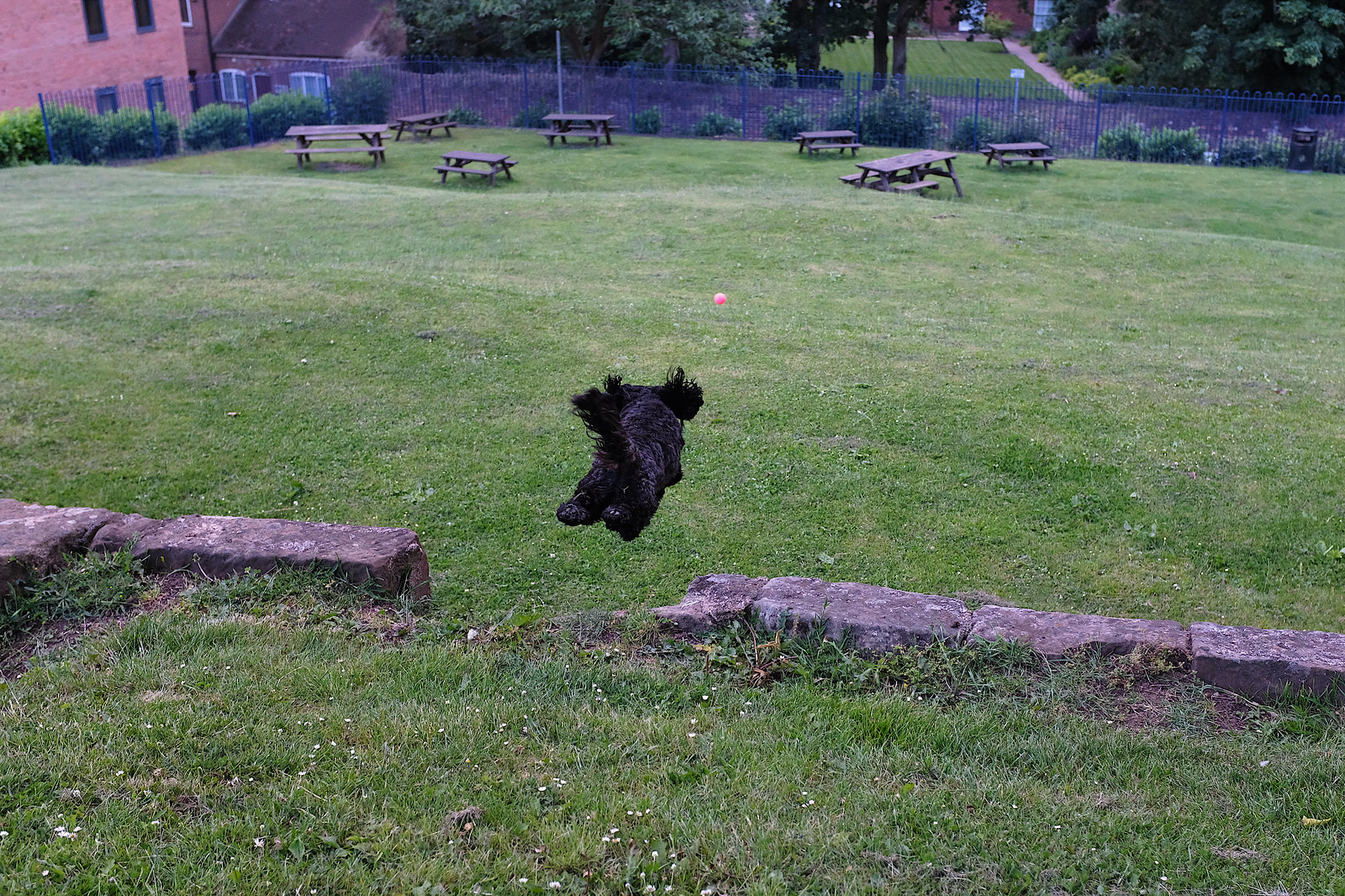 Black cockapoo chasing a ball