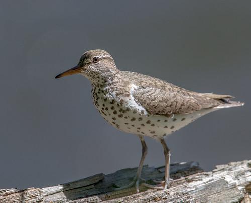 spottedsandpiper sandpiper shorebird actitismacularius actitismacularia actitis scolopacidae nigelje kettleriver bird