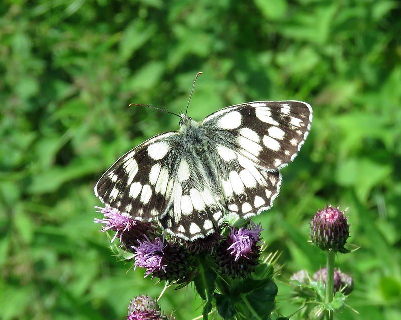 Marbled White - Melanargia galathea
