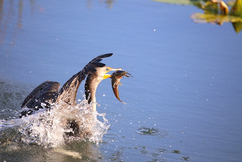 DOUBLE-CRESTED CORMORANT #3 | by cuatrok77